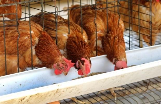 Уже в третьей префектуре Японии обнаружен птичий грипп