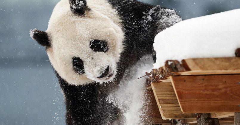 Финляндия может вернуть Китаю подаренные ранее панды